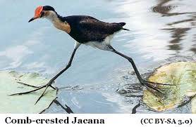 Image result for Jacanas (Jacanidae family)