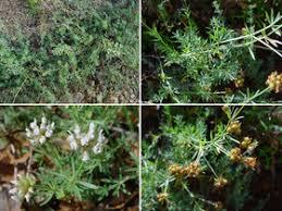 Dorycnium pentaphyllum Scop. subsp. pentaphyllum