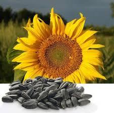 Картинки по запросу фото соняшника