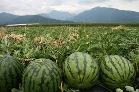Hasil gambar untuk cara menanam buah semangka yang baik dan menguntungkan