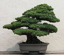 bonsai bonsai tree