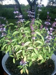 Image result for basil plant