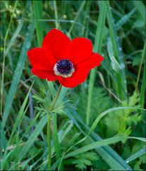Anemone coronaria - Wikipedia