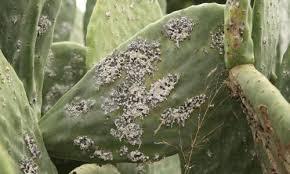 """Résultat de recherche d'images pour """"Au Maroc, la cochenille ravage les plantations de figues de barbarie"""""""