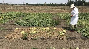 как выращивают и селекционируют <b>астраханские арбузы</b>
