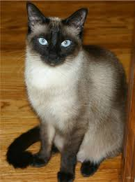 <b>Siamese cat</b> - Wiktionary
