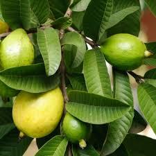 Fuchsia procumbens, Ugni molinae, Schlumbergera - fruits [devinette] Images?q=tbn:ANd9GcTphv5N6fSpLCgVVgAD7bls_JGk7uASLozUqIbkYRK2W82GFQHz
