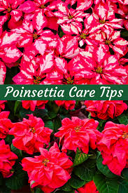 6 Tips To Keep Your Poinsettias Looking Good This Holiday Season