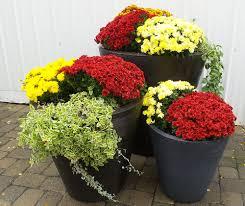 seasonal work projects emi landscape mum in seasonal pot display