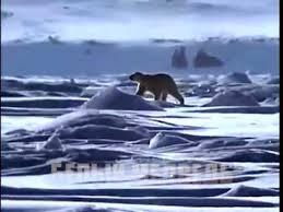 Природа <b>Севера</b>. <b>Белый медведь</b> - YouTube
