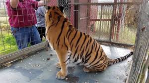 the center for animal research and education c a r e located located in bridgeport texas provides a safe permanent and loving home to exotic animals in need such as tigers leopards lions lemurs etc