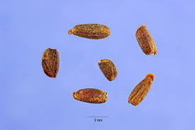 Plants Profile for Hesperis matronalis (dames rocket)