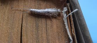 Are <b>Silverfish</b> Harmful?   Terminix