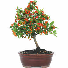 dwarf pyracantha bonsai tree bonsai tree