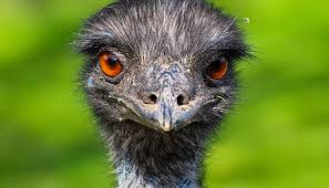 <b>Emu oil</b>: Uses, benefits, and side effects