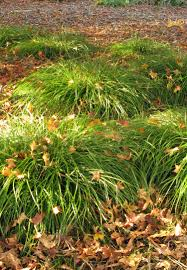 Carex divulsa: A Workhorse Sedge with Style