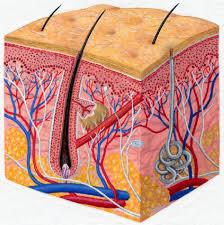 Image result for human skin diagram