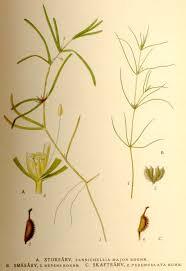 Zannichellia palustris - Wikipedia, la enciclopedia libre
