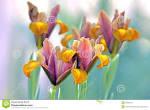 Images & Illustrations of bulbous iris