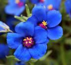 Images & Illustrations of blue pimpernel