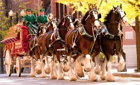 Image result for clydesdales