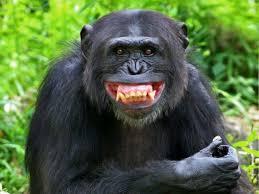 Resultado de imagen para chimpancé