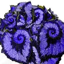 Glamaours Sapphire Blue: <b>50Pcs Begonia</b> Seeds, Coleus <b>Begonia</b> ...