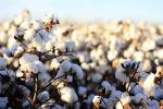 Images & Illustrations of cotton