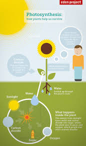 photosynthesis diagram for kids  how plants help us to survive    photosynthesis diagram for kids