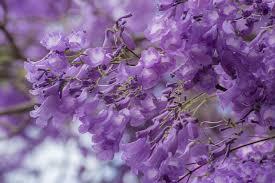 Resultado de imagem para jacarandás em flor