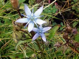 Lomatogonium carinthiacum - Blue Feltwort