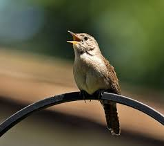 Image result for songbirds wren