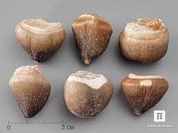 8-6/13 Зуб мозазавра <b>окаменелый</b> (Globidens aegyptiacus), <b>2-3 см</b>