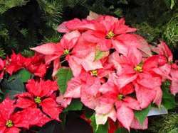 National Poinsettia Day - Garden.org