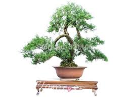 juniper bonsai tree potted flowers office cypress bonsai purify the air absorb harmful gases free shipping bonsai tree for office