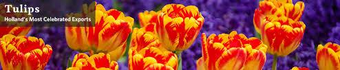 <b>Tulips</b> - <b>Tulip</b> Bulbs for Sale | Breck's