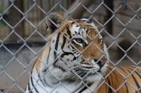 wisconsin one of five states where dangerous exotic animals can a tiger looks through the wires of its enclosure at valley of the kings a
