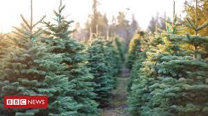 <b>Hot</b> weather killed 'up to half' of young <b>Christmas trees</b> - BBC News