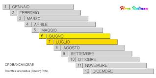 Odontites lanceolatus [Perlina lanceolata] - Flora Italiana