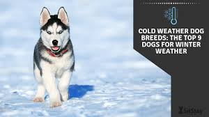 Breeds of <b>Winter Dogs</b>: Best 9 Cold Weather Dogs of 2020 - SitStay