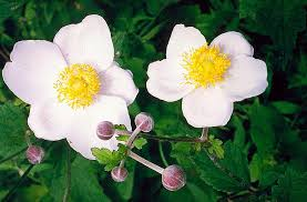 Anemone in Flora of China @ efloras.org
