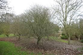 Sorbus umbellata – Wikipedia