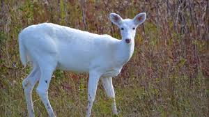 <b>White Deer</b>: Understanding a Common Animal of Uncommon Color ...