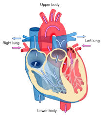 file heart diagram blood flow en svg   wikimedia commonsfile heart diagram blood flow en svg