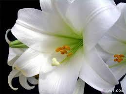 في روحك  وردة لمن   ترسل عطرها  / إهداء  لمن تحب بلغة الورد - صفحة 3 Images?q=tbn:ANd9GcTtkLZPAKCmQFsEkd3XSC36Jdkt6Hjn5w_qWFqvHSC2Bhws5JFm