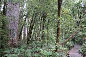 walking among the giants of waipoua forest conservation blog kauri forest on the yakas walk photo beverley bacon