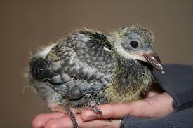 aider moi a sauver un bébé pigeon Images?q=tbn:ANd9GcTu4oKbGXvdeCgwJYeHPnFSUTMfLleuqntBFMCGl13GXCGfwcYmXQ