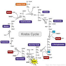 biology at fontbonne academy  unit    how cells obtain energy    citric acid cycle  here is a more detailed diagram