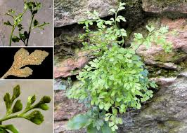 Asplenium ruta-muraria L. subsp. ruta-muraria - Sistema informativo ...