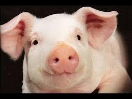 Свиньи как бизнес идея 3 Выбор породы свиней - YouTube